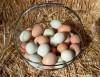 Яйцо для инкубации, Птицы